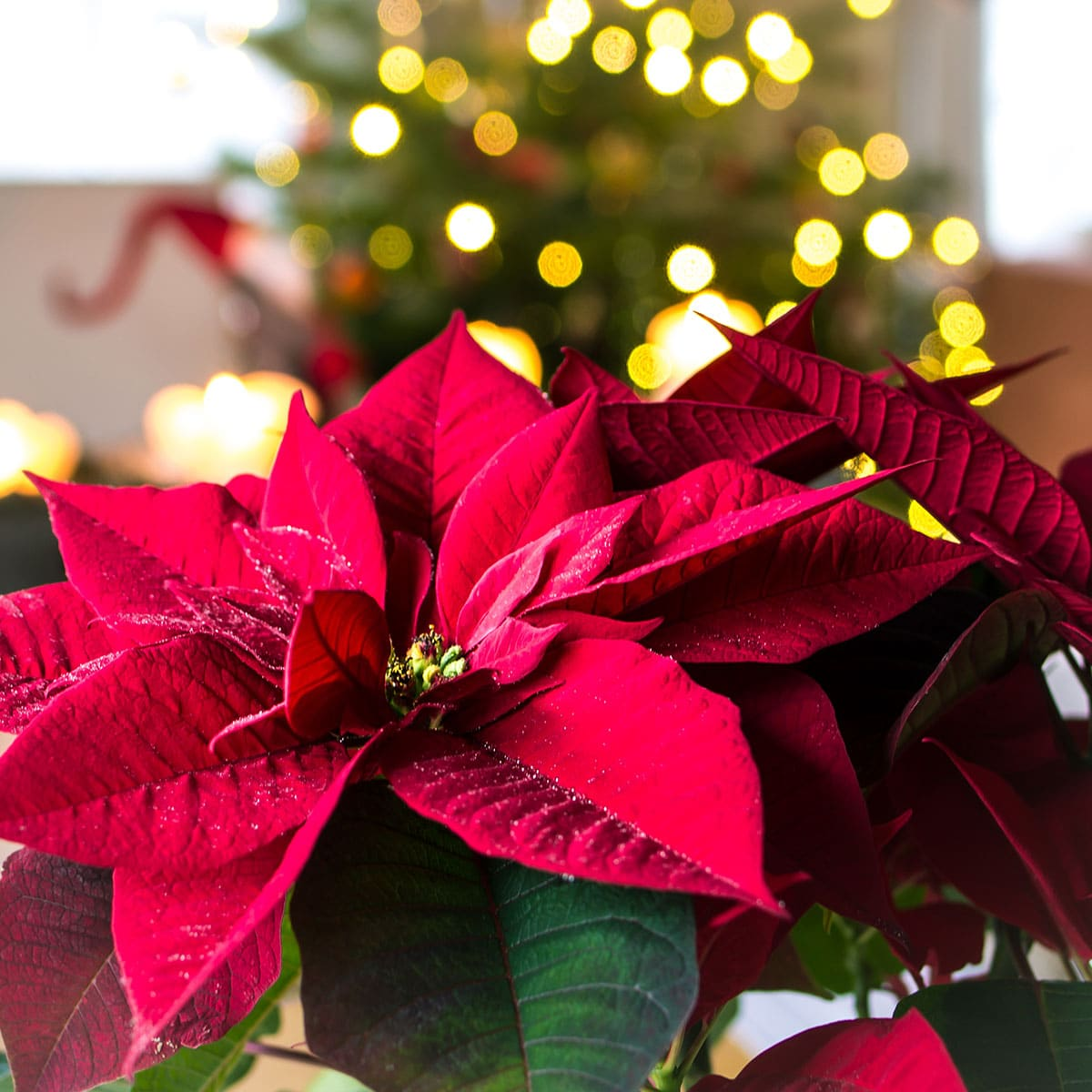 Poinsettias For Christmas 2021 National Poinsettia Day December 12 2021 National Today